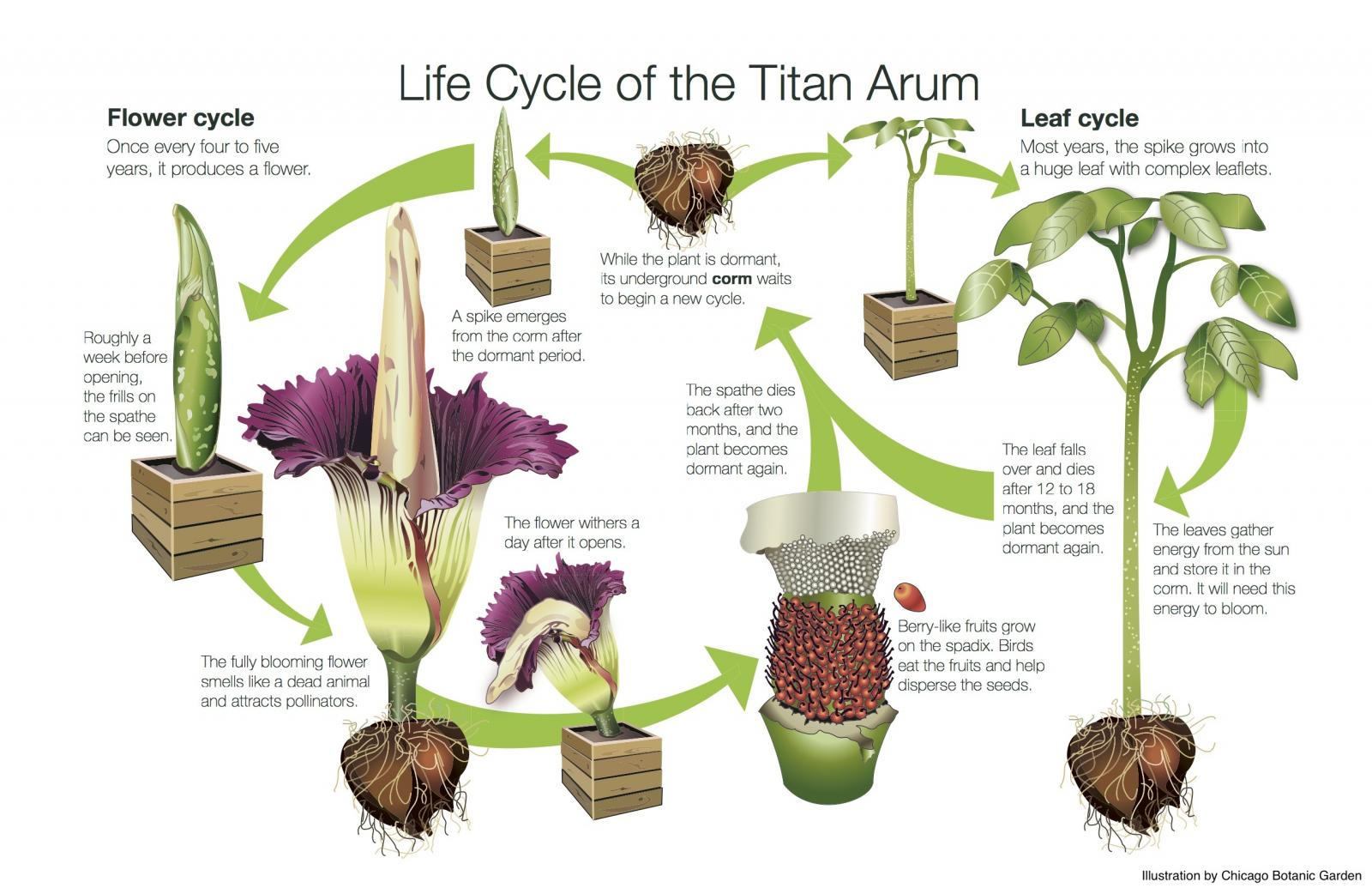 Three corpse flowers bloomed at USBG in 2017 | United ...