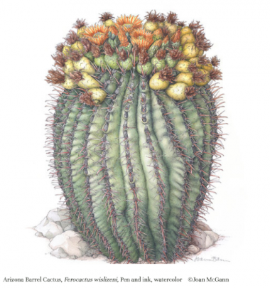 illustration of Arizona barrel cactus