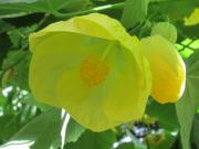 Canary bird Abutilon
