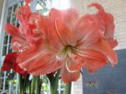 Hippeastrum 'Lady Jane'