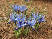Iris reticulata &#039;Harmony&#039;