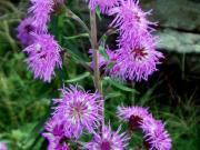 New England blazing star (Liatris scariosa) 