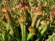 Sweet pitcher plant (Sarracenia rubra Walter ssp. Rubra)