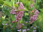 Smooth witherod viburnum (Viburnum nudum) 