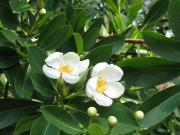 Gordonia lasianthus