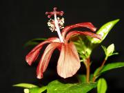 Hibiscus clayi