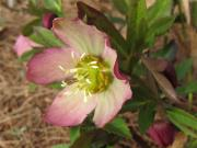 Lenten rose