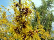 Witchhazel 