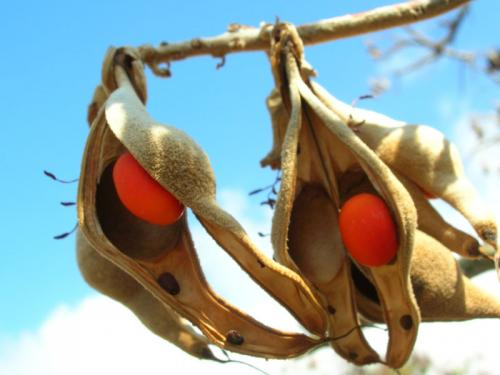 Wiliwili seeds Erythrina sandwicensis 