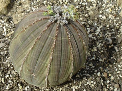 Euphorbia obesa (Baseball plant)