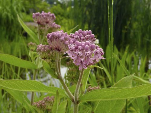 Swamp milkweed (Asclepias incarnata) 