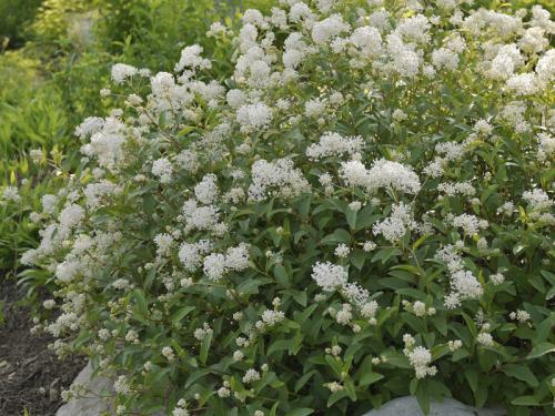 New Jersey tea (Ceanothus americanus) 