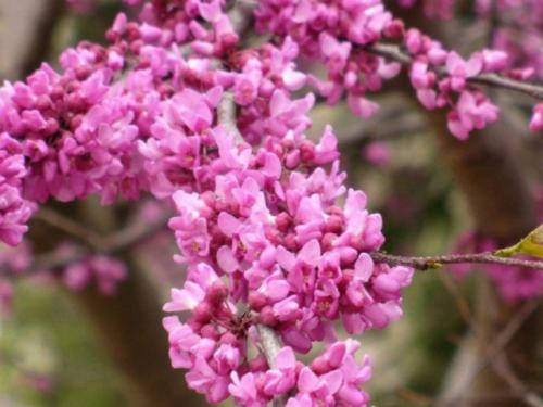 Eastern redbud (Cercis canadensis)