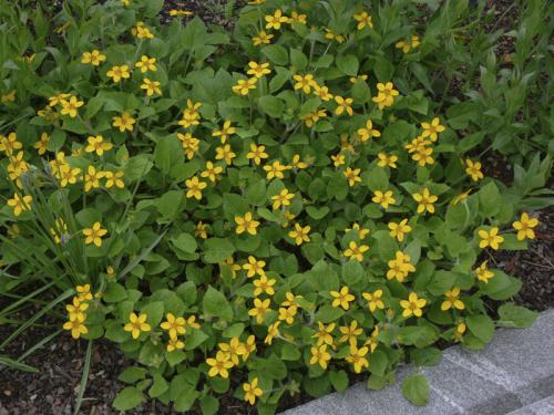 Green and gold (Chrysogonum virginianum) var. virginianum