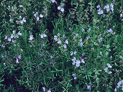 Cumberland false rosemary (Conradina verticillata) 
