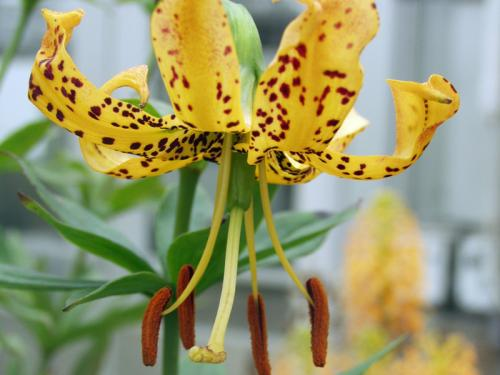 Pot-of-gold lily (Lilium iridollae) 