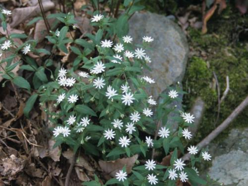 Star chickweed (Stellaria pubera) 