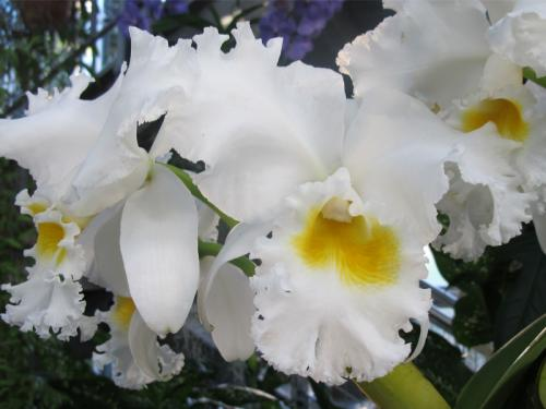 Cattleya Nancy Off &#039;Prolific&#039;