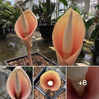Amorphophallus bulbifer blooms