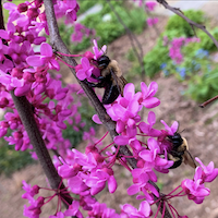Bees on Pink flowers of eastern redbud tree