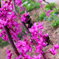 Bees on Pink flowers of eastern redbud tree