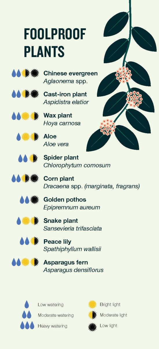 Foolproof plant recommendations -- Chinese evergreen, cast-iron plant, wax plant, aloe, spider plant, corn plant, golden pothos, snake plant, peace lily, asparagus fern