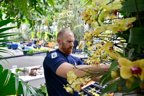 Gardener Kenny Silveira installs yellow Paphiopedilum orchids for the orchid exhibit