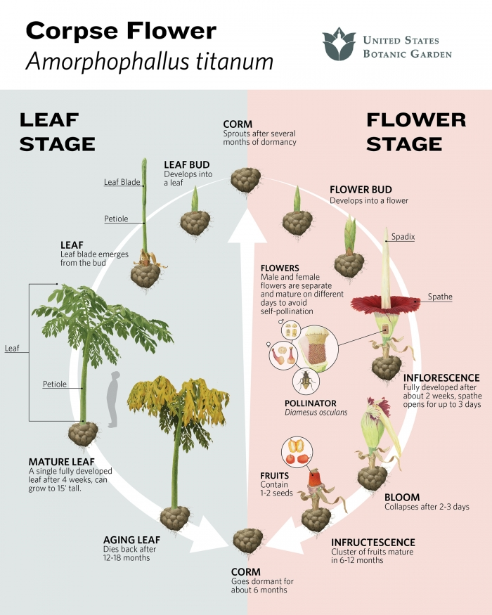 Corpse flower life cycle infographic