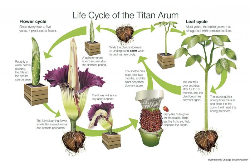 Titan arum life cycle