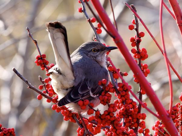 northern mockingbird (Mimus polyglottos) eating winterberry (Ilex verticillata)