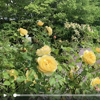 Yellow rose flowers in the Rose Garden