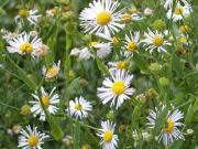 Doll's daisy or decurrent false aster (Boltonia decurrens)