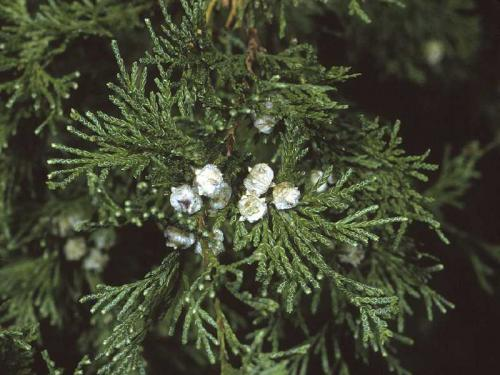 Atlantic white cedar (Chamaecyparis thyoides)