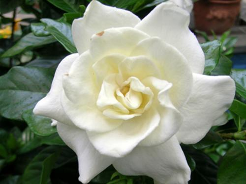 chuck hayes gardenia  united states botanic garden, Beautiful flower