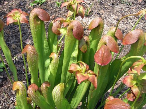 Hooded pitcher plant (Sarracenia minor)