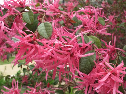 Loropetalum chinenese
