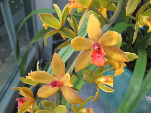 Hearts of gold orchid