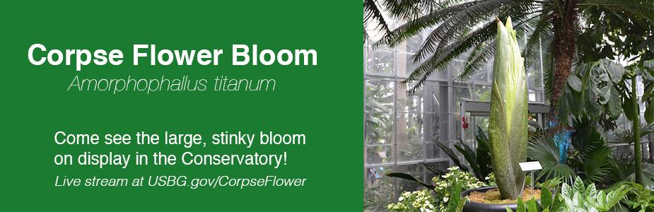 corpse flower now blooming