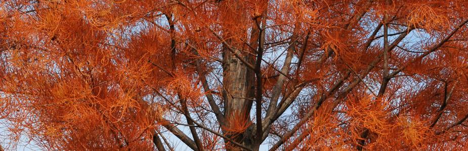 Pond cypress tree in red fall color
