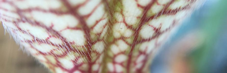 Pitcher plant hairs on pitcher leaf trap